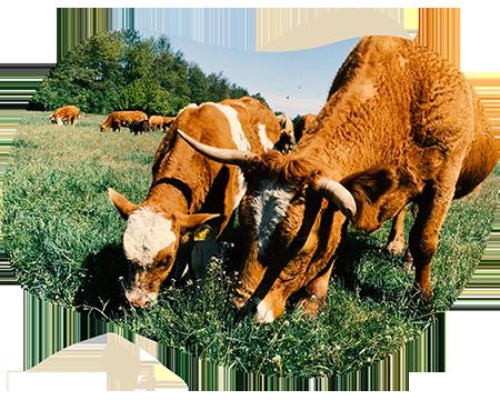 Symbolbild Biofleisch vom Rind